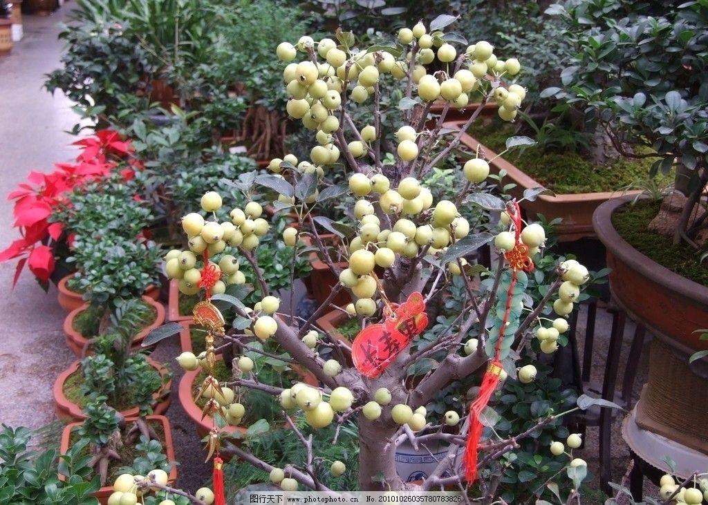 长寿果 花卉 花卉市场 盆栽 观果 木本 枝上挂满果子 花卉系列