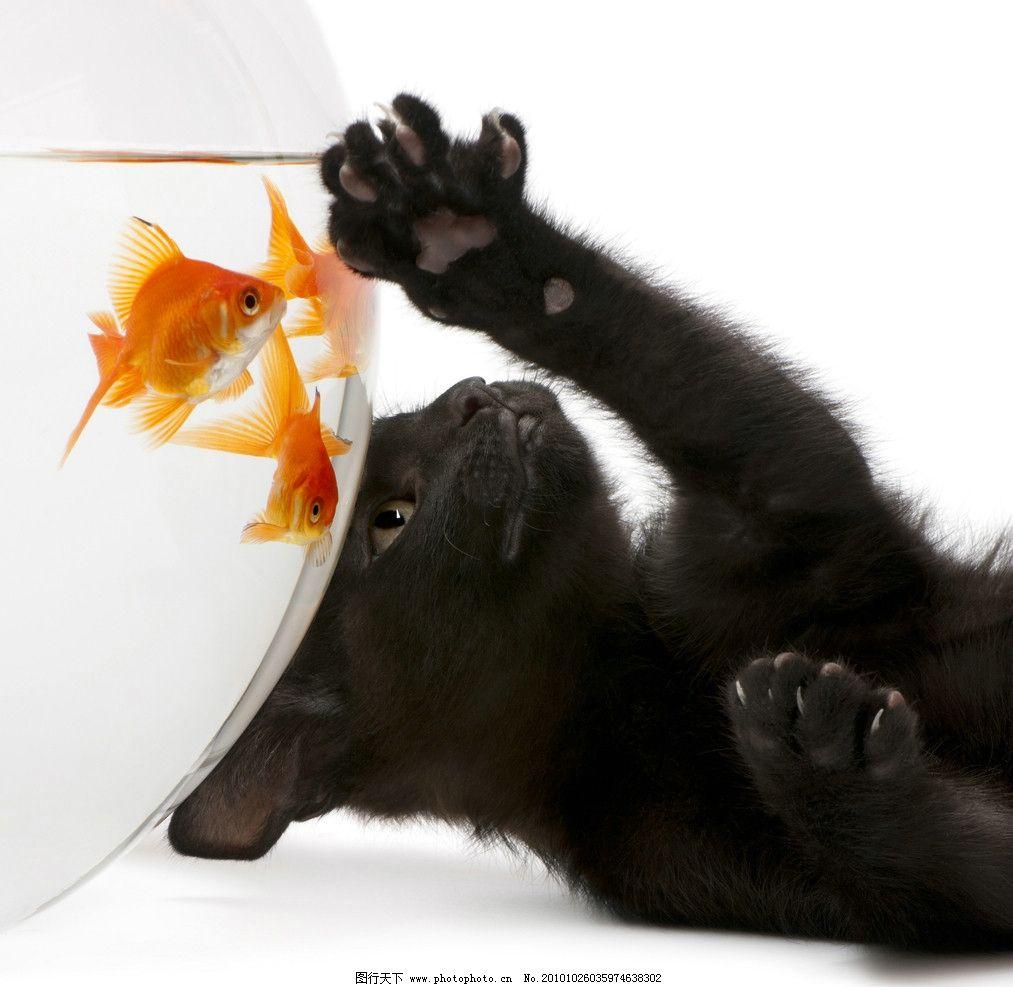 可爱的小猫 金鱼 鱼缸 黑猫 猫咪 宠物 猫科 摄影