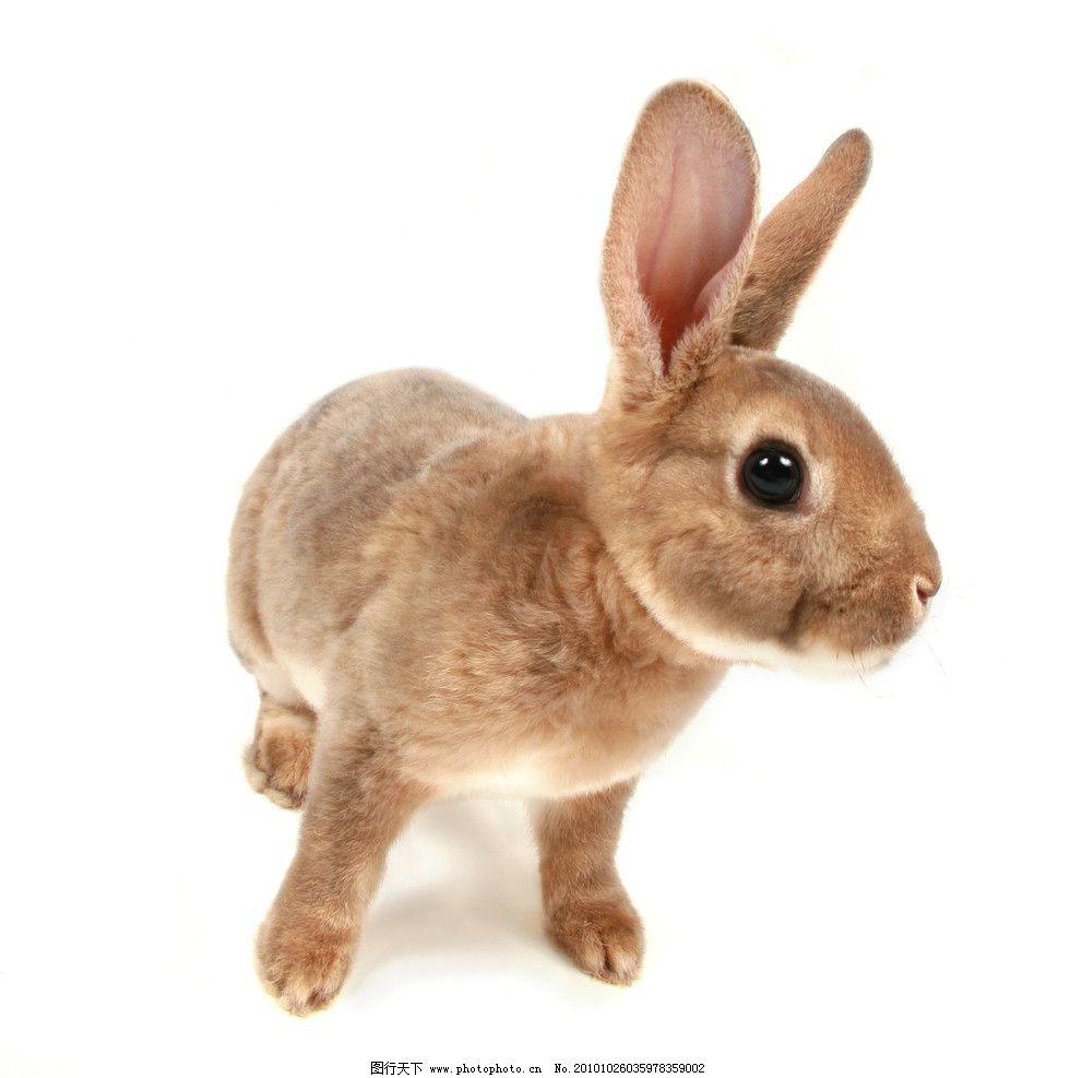摄影图库 生物世界 家禽家畜  兔子高清图片 兔子 家兔 小兔子 可爱