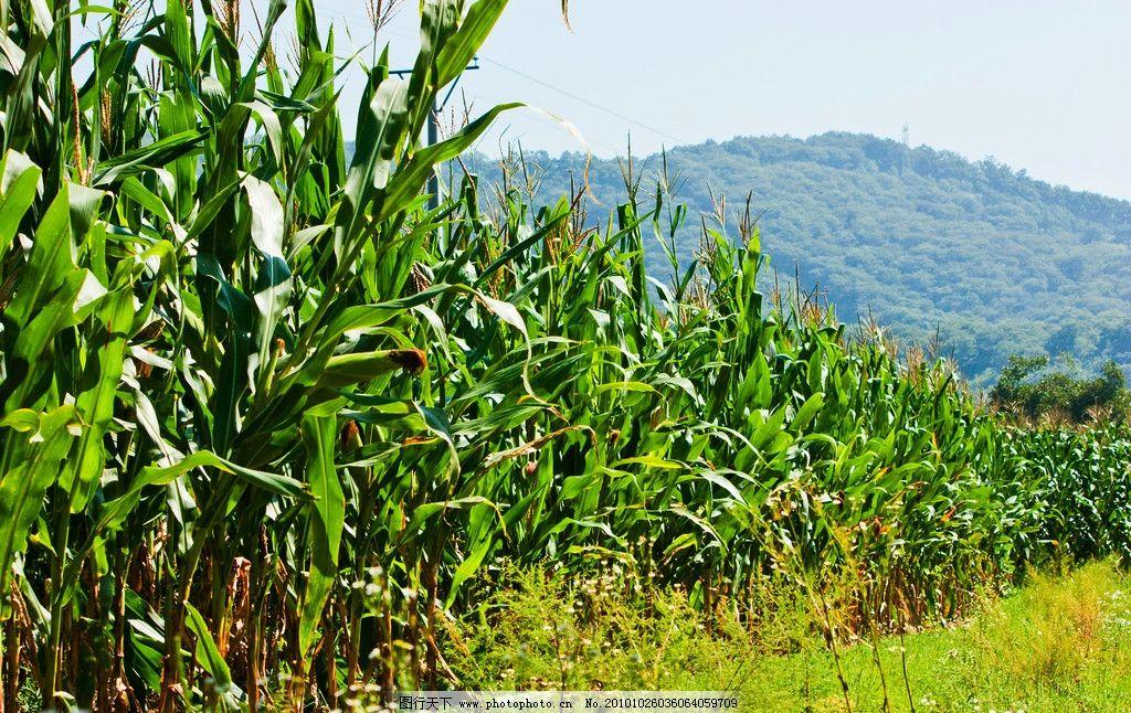 玉米地 玉米植株 叶 玉米棒