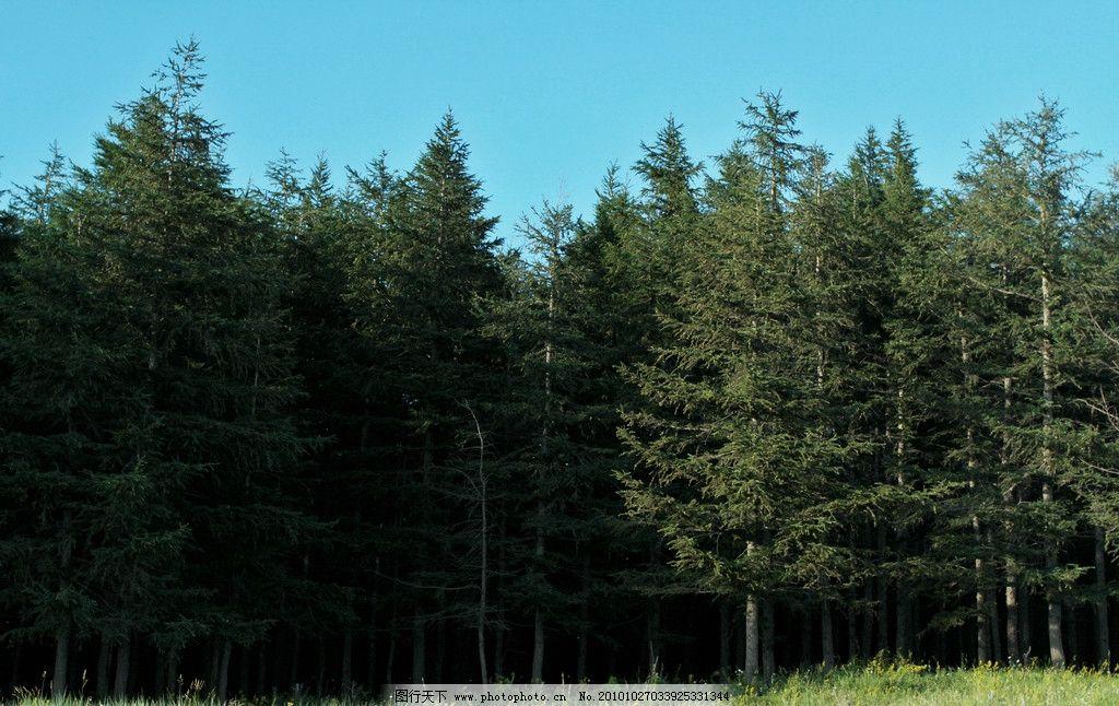 茂密的松树林图片