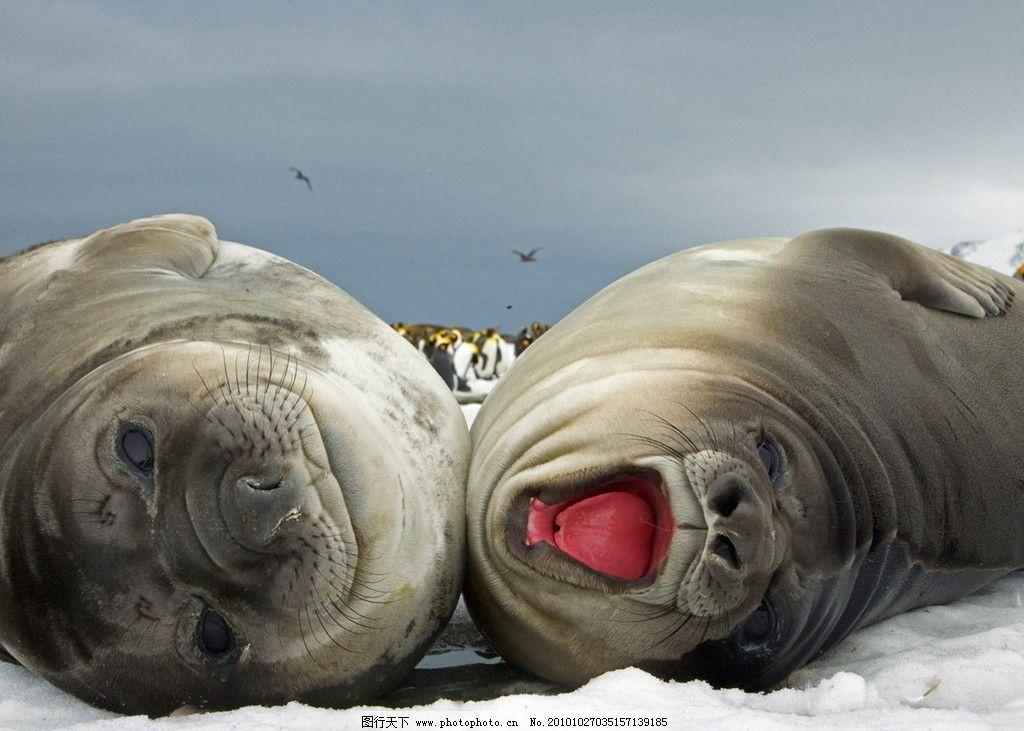 海狮 海豹 海牛 海狗 动物 打呵欠 海洋生物 生物世界 摄影