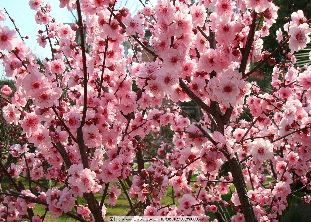 梅花 绽放 盛开 粉红花瓣 花密而浓 花香浓郁 枝形优美 傲雪而开