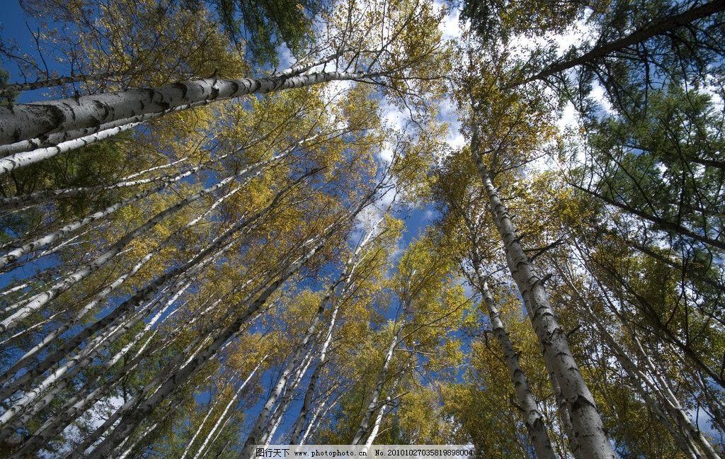 树林 参天大树 树梢 蓝天 白云 树木树叶 生物世界 摄影 240dpi jpg