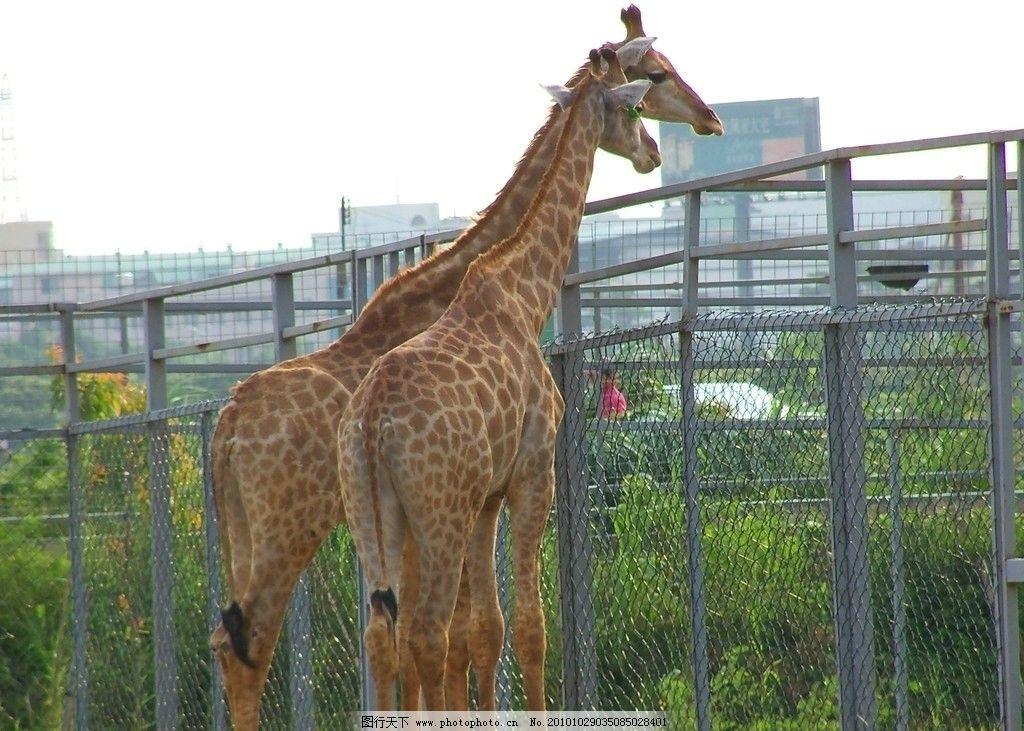 长颈鹿 动物园 楼房 铁架子