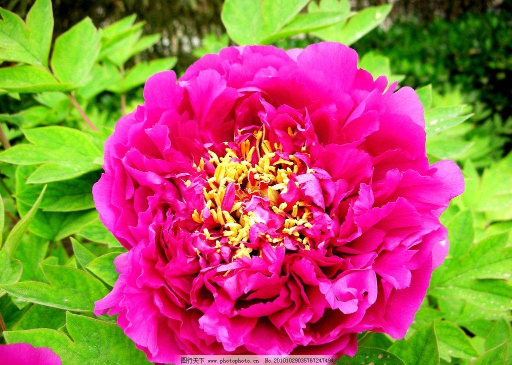 牡丹花 风景 植物 花朵 国花 玫红牡丹 花香 盛放 鲜艳 叶子 绿化