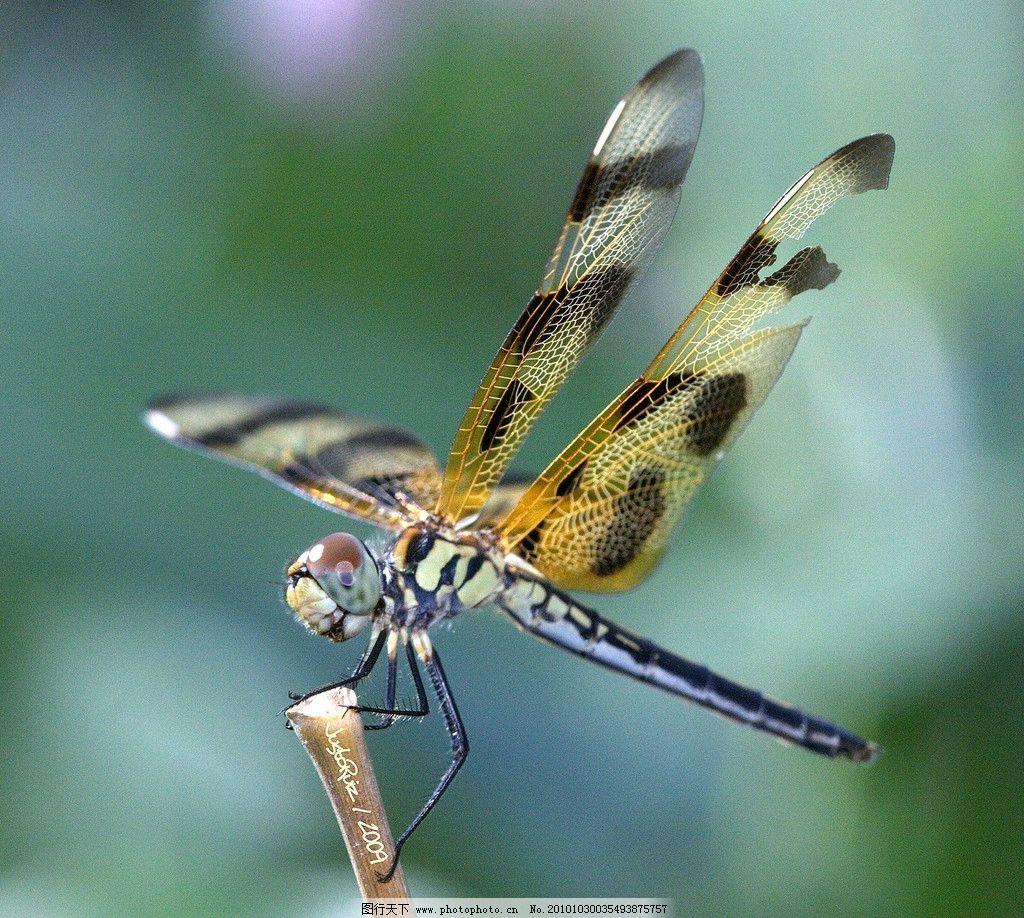 蜻蜓 生物 动物 飞行 昆虫类 摄影 照片 写真 昆虫 生物世界 摄影 96