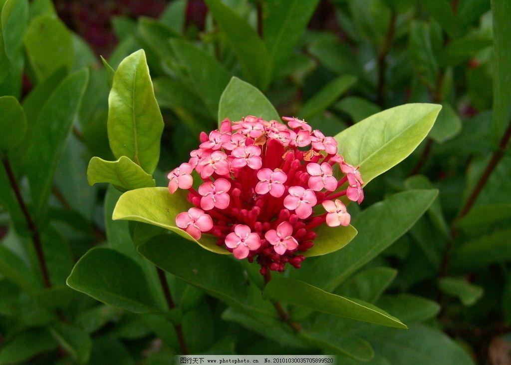 热带植物大叶龙船花图片