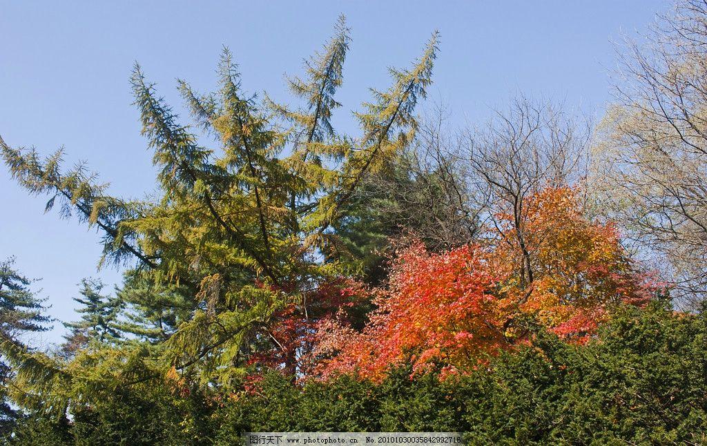 松绿枫红 松树 针叶 枫叶 树木树叶 生物世界 摄影 609dpi jpg