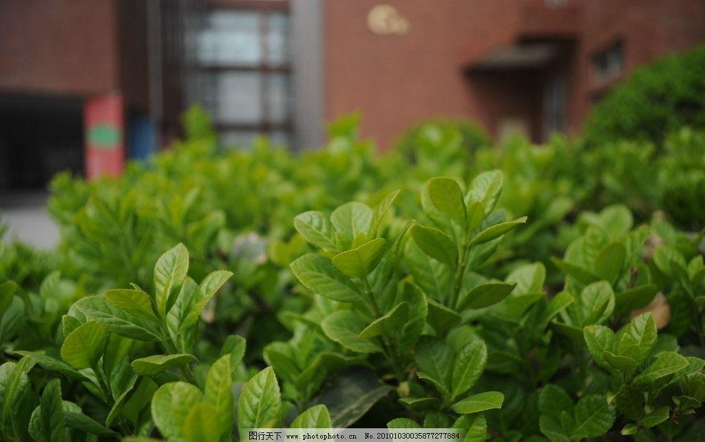 冬青 绿草 花草 绿色 绿叶 树木树叶 生物世界 摄影 300dpi jpg