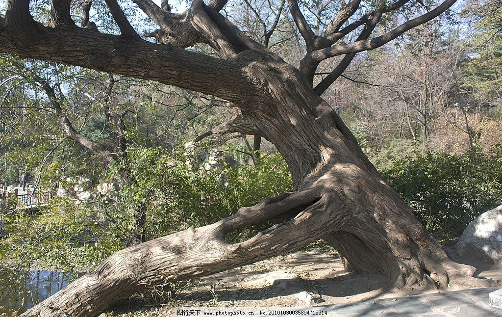 老树根 水边 巨树 老干 树根 石块 杂树 树木树叶 生物世界 摄影 609d