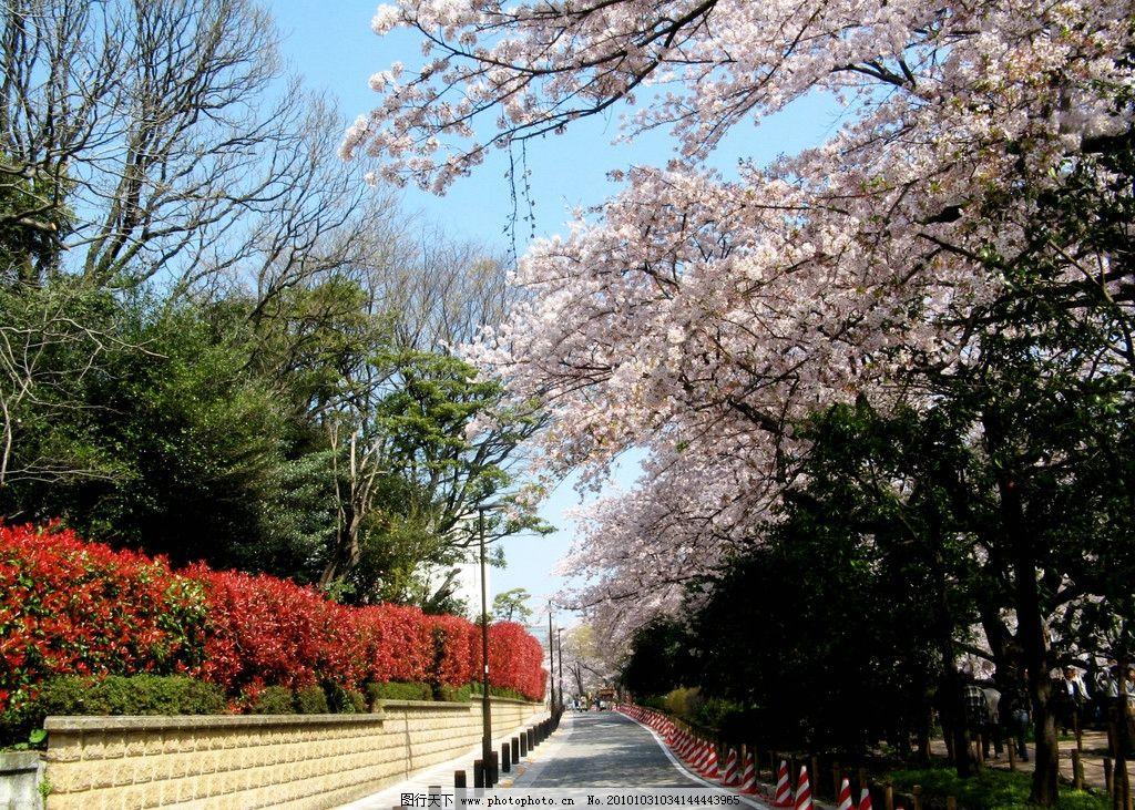 日本风光 风景 旅游 日本 公园 树木 花木 绿化 樱花 小道 清新 国外