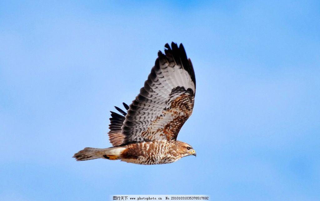 老鹰 生物 动物 飞行 鸟类