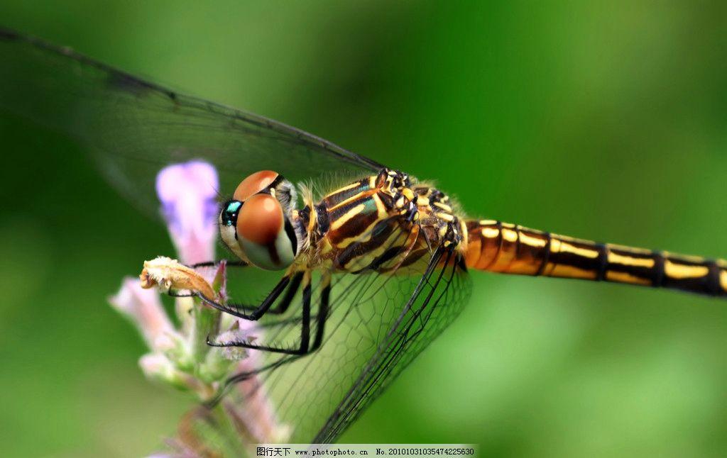 蜻蜓 生物 动物 飞行 昆虫 摄影 照片 写真 生物世界 摄影 72dpi jpg