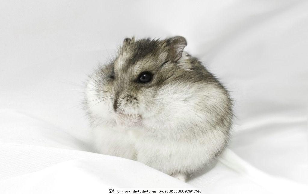 仓鼠 动物图片 动物摄影 陆地动物 哺乳动物 家养动物 家禽家畜 生物