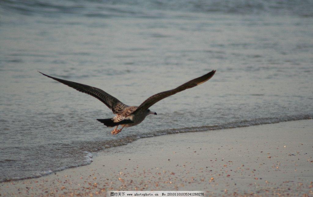 展翅飞翔 一只大海鸟 褐色 黑色尾尖 大海 海浪 沙滩 晨光 海鸟 鸟类