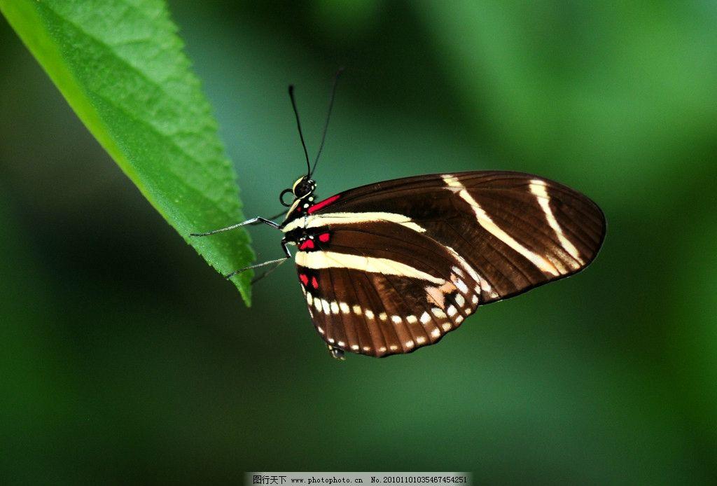 蝴蝶 生物 动物 飞行 昆虫类 摄影 照片 写真 昆虫 生物世界 摄影 300