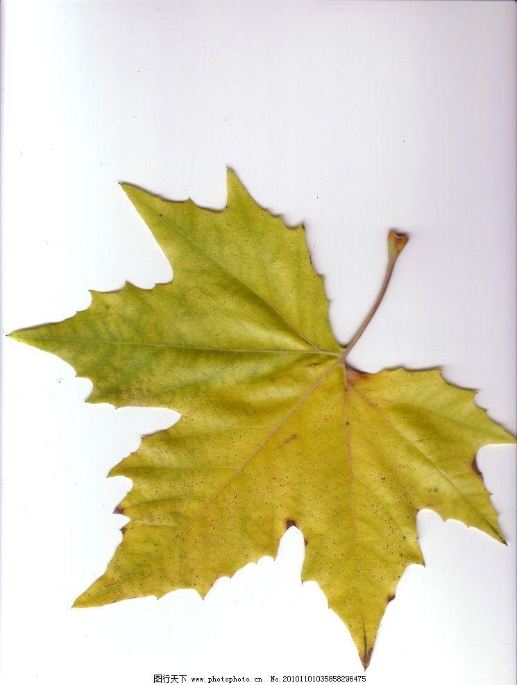 树叶 绿叶 叶 叶子 枫叶 叶片 树木树叶 生物世界 摄影 300dpi jpg