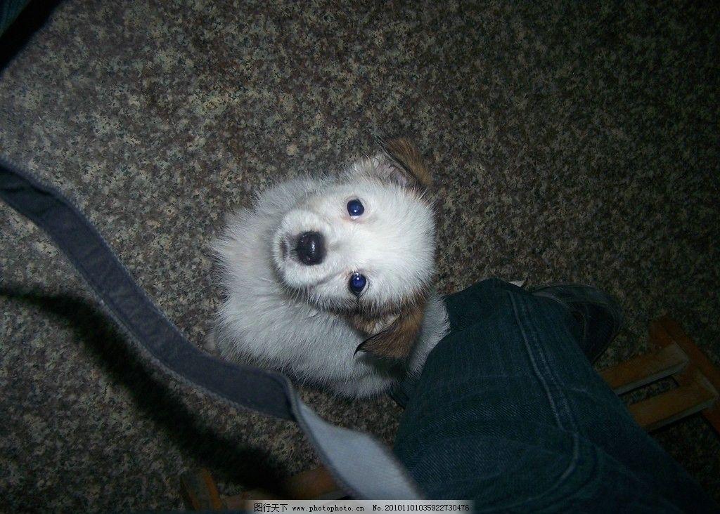 狗狗 小狗 宝宝 宝贝 可爱 眼睛 对视 注目 家禽家畜 生物世界 摄影