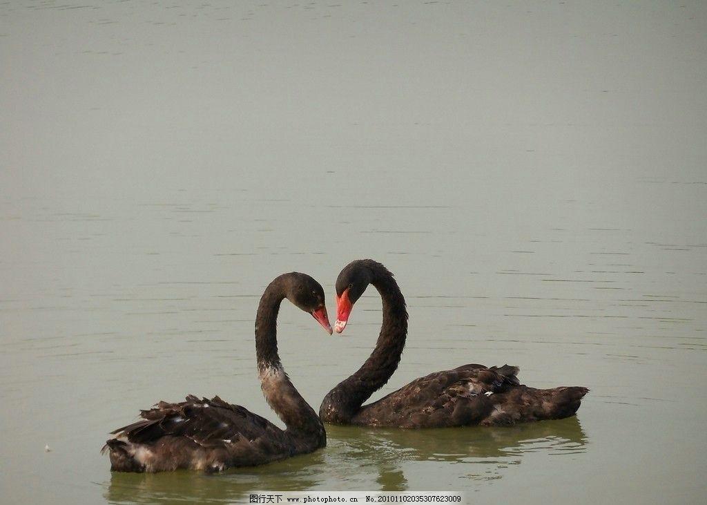心心相印 鹅 湖泊 河流 水 公园 动物园 动物 鸟类 生物世界 摄影 480