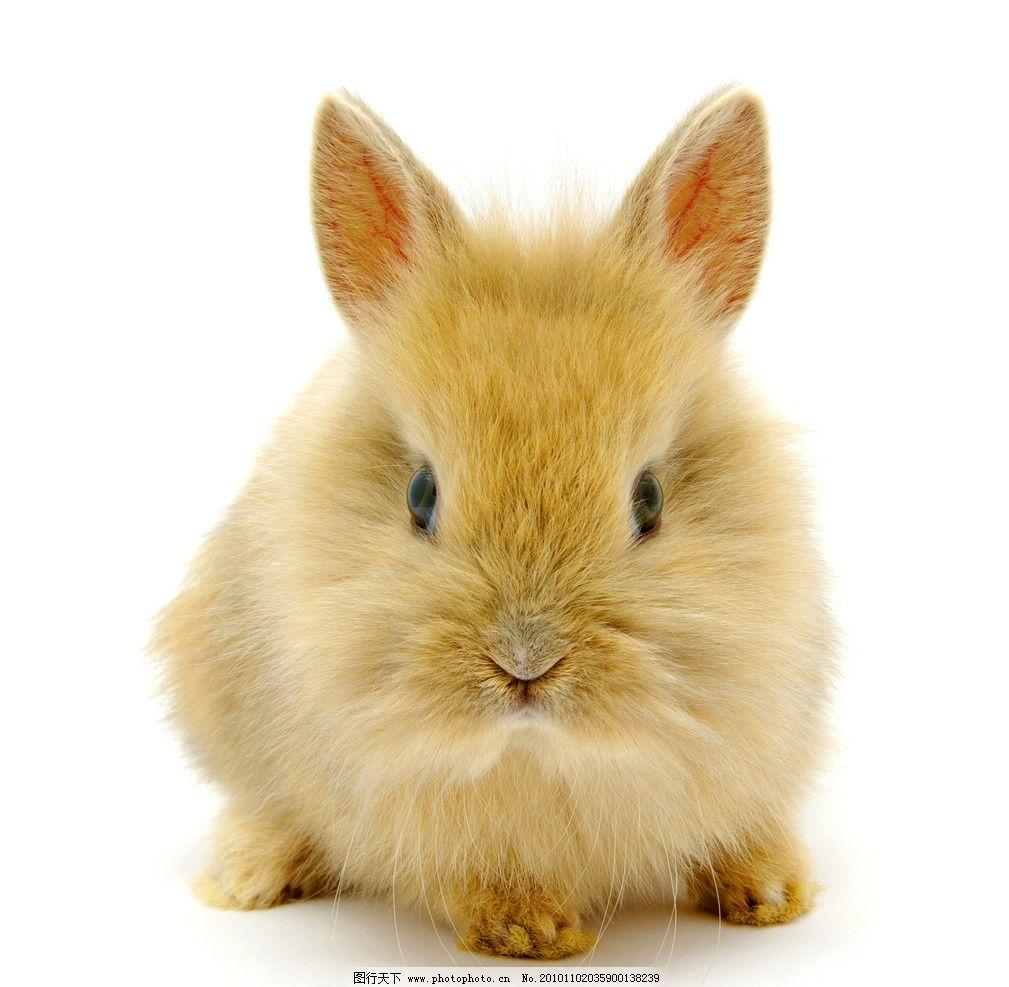 小兔子 可爱 宠物