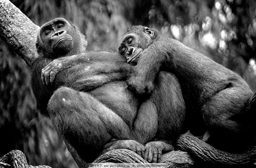 布朗克斯动物园 低地大猩猩图片