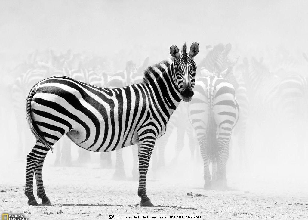斑马 斑马群 动物 野生动物 生物世界 摄影 72dpi jpg