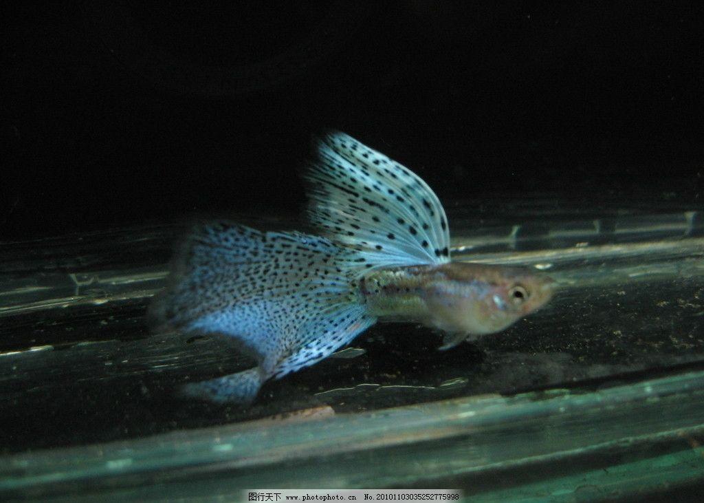 孔雀鱼 鱼 热带鱼 鱼类
