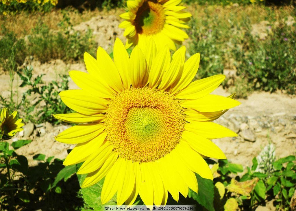 向日葵 自然 风景 花草 生物世界 摄影