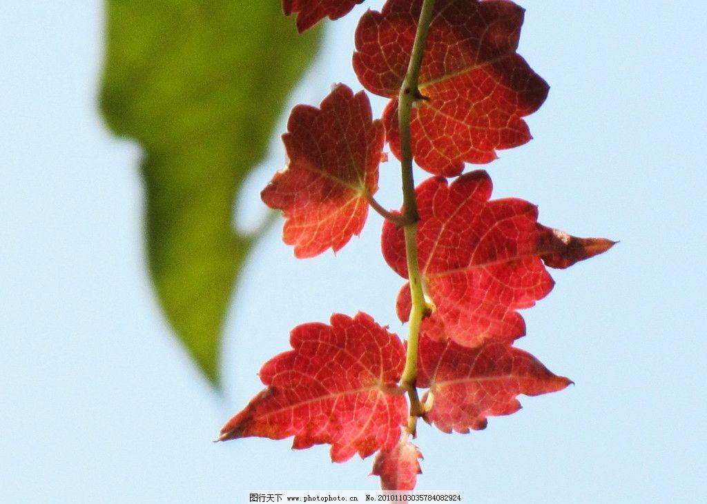 秋天的颜色 爬山虎枝叶 六片红色的叶子 叶脉 阳光 蓝天 绿叶 逆光