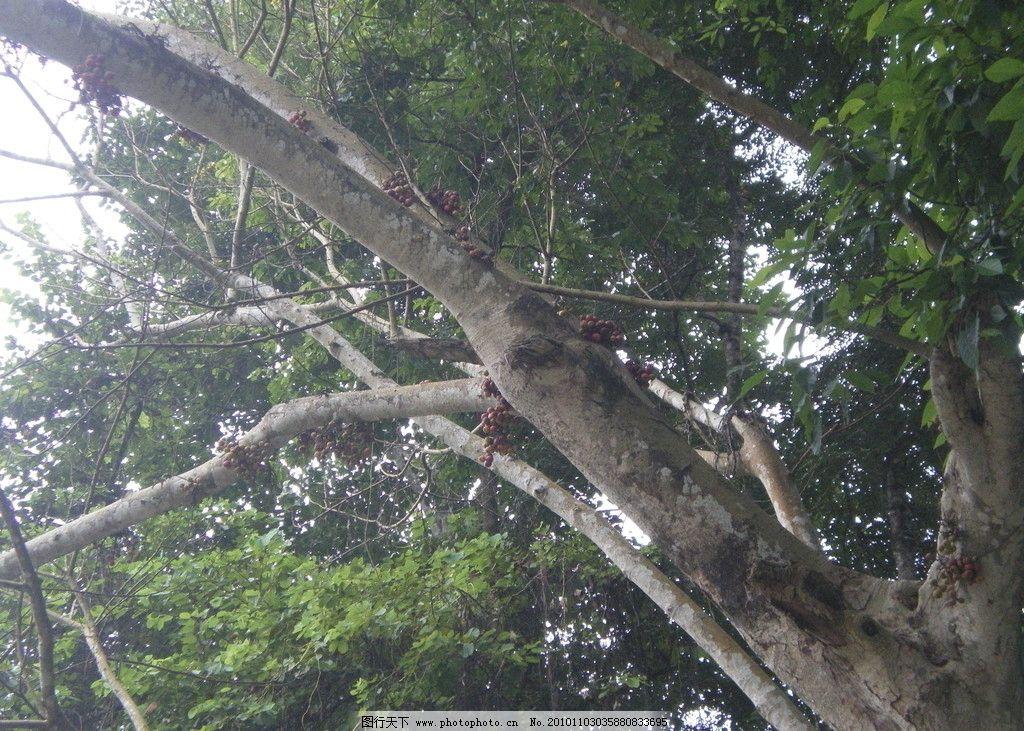 南方佳木 摄影 生物 植物 南方 树木 果实 树木树叶 生物世界 72dpi j