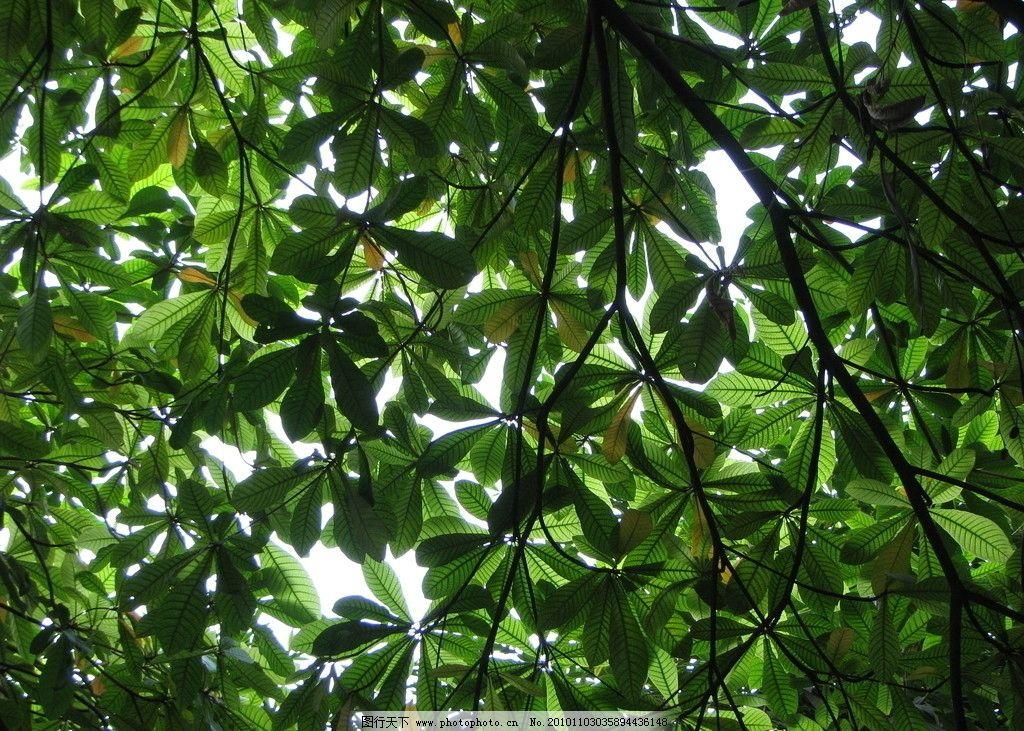 高清叶子图片,果实 春天 绿色 树 大树 树枝 摄影-图