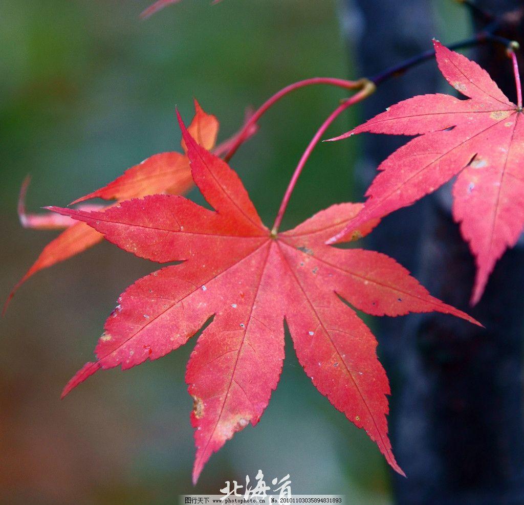 北海道/北海道红叶图片