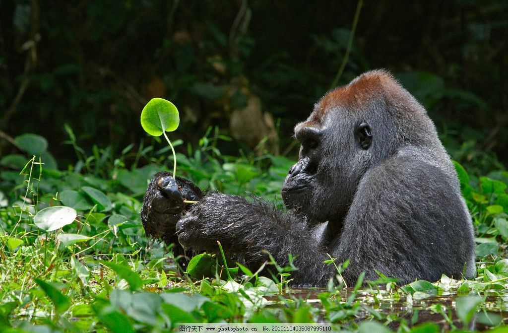 银背大猩猩 大猩猩 野生动物