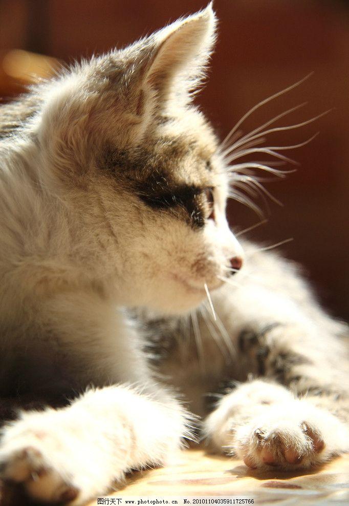 猫咪 宠物 花猫 可爱 午后阳光 休闲 回眸 摄影