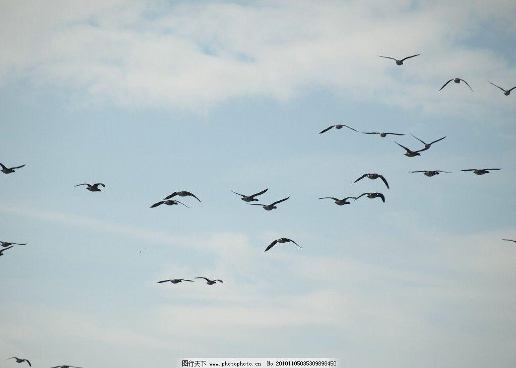 成群的飞鸟 动物摄影 空中动物 鸟类图片 禽鸟摄影 成群的鸟 飞鸟