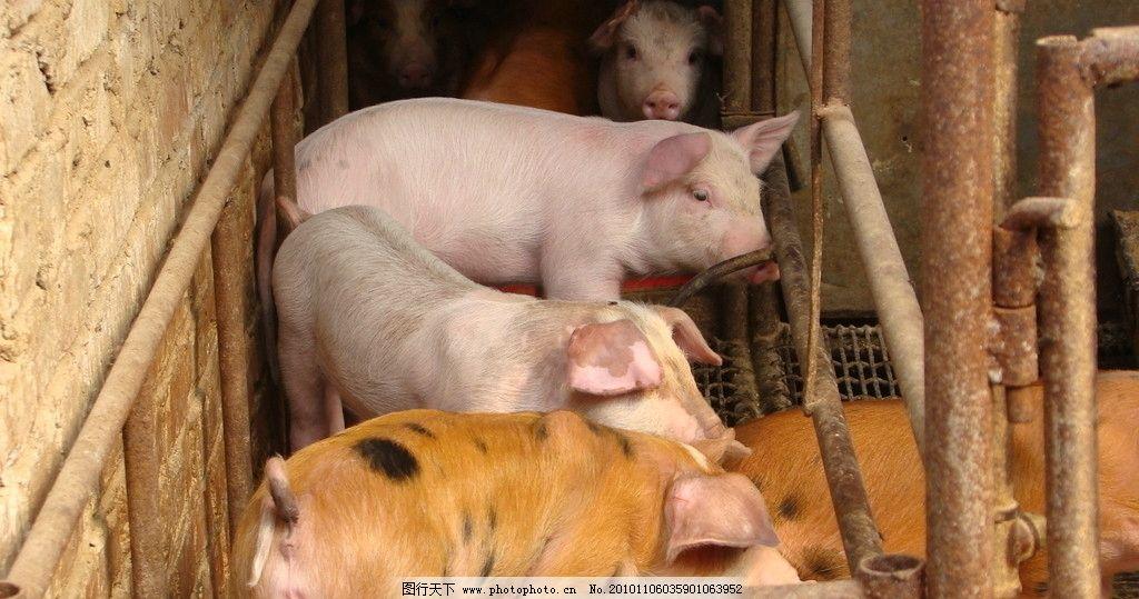 猪照片 猪 照片 活猪 养猪 猪圈 动物 动物摄影 家禽家畜 生物世界