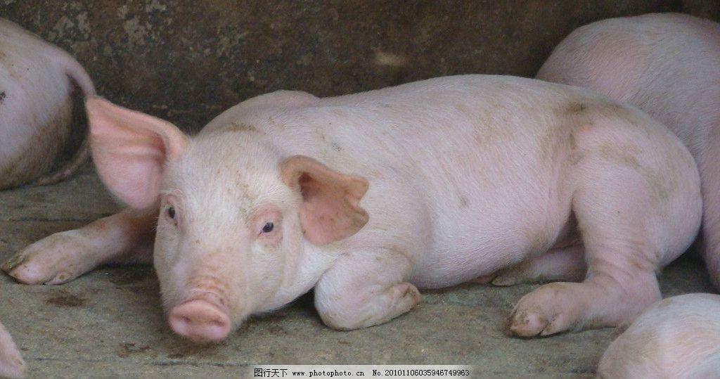 猪照片 活猪 养猪 猪圈 动物 动物摄影