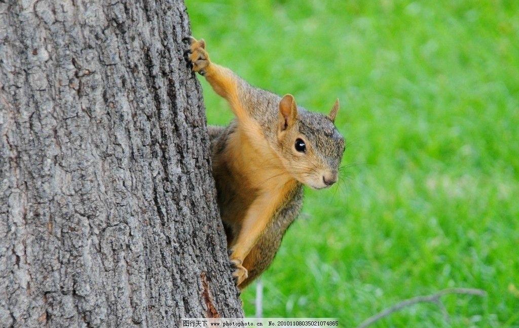 松鼠 大树 草地 野生动物 生物世界 摄影 100dpi jpg