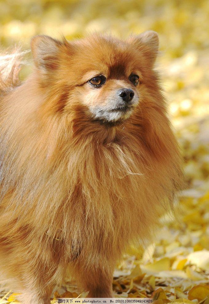 德国狐狸犬图片