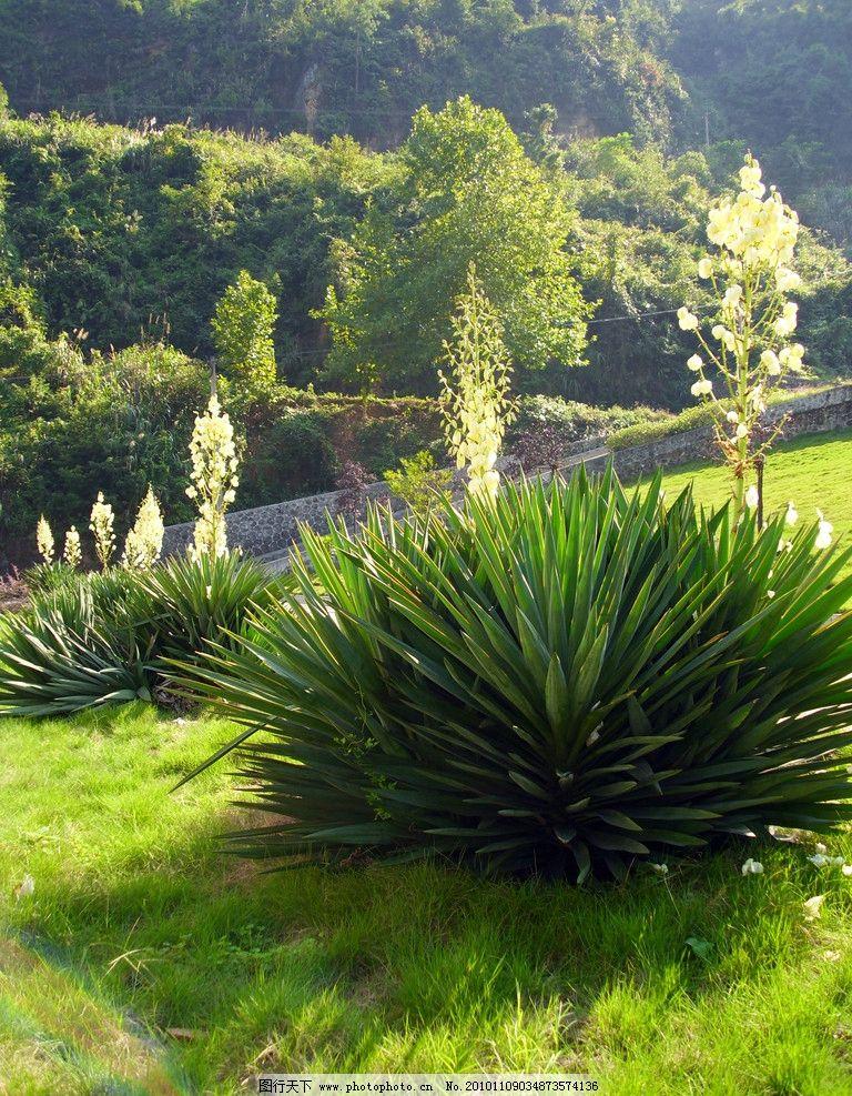 剑兰 风景 绿色 树 花 山 小草 绿地 草地 铁树 自然风景 自然景观