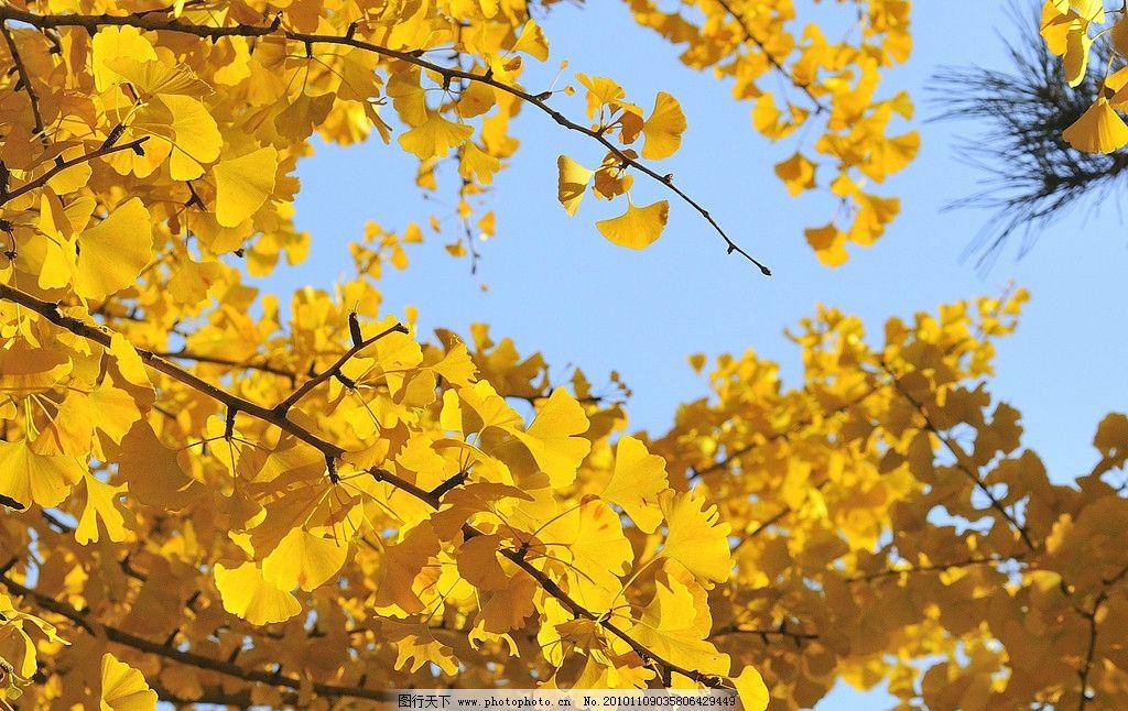 银杏树 风景 秋天 摄影