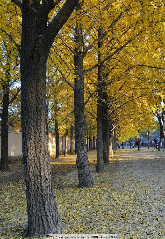 银杏树 风景 秋天 树木树叶 生物世界 摄影 300dpi jpg