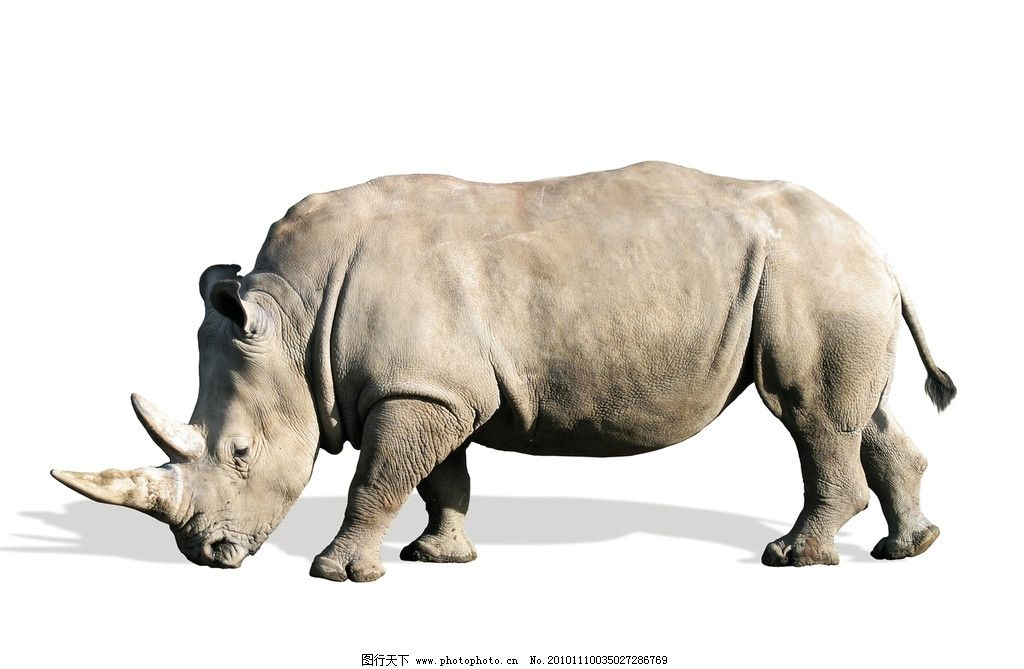 犀牛 全身 站着 大犀牛 野生动物 生物世界 摄影 72dpi jpg