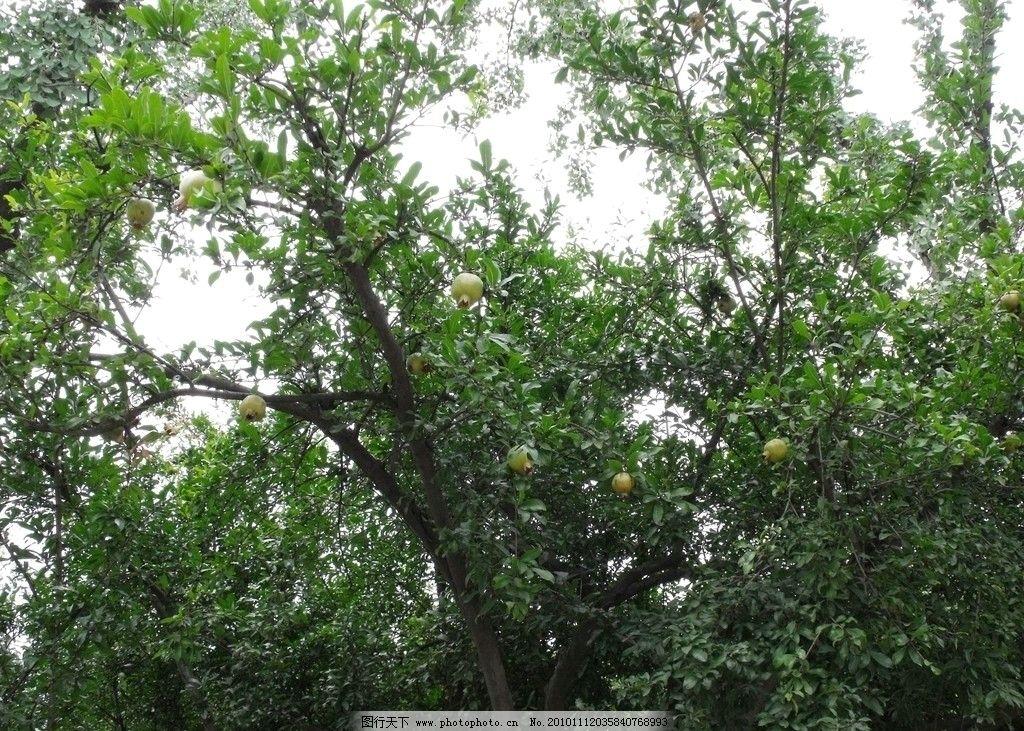 石榴树图片