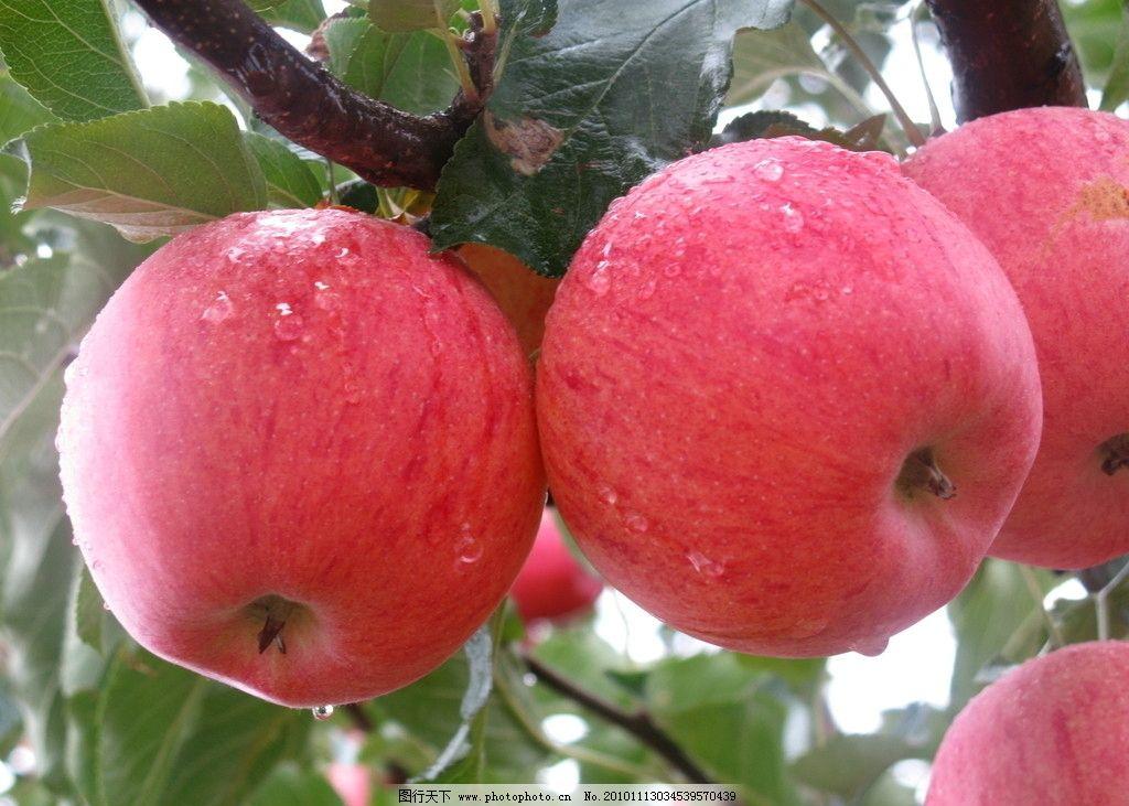 苹果 苹果树 红苹果 红富士 延长苹果 水果 田园风光 自然景观 摄影
