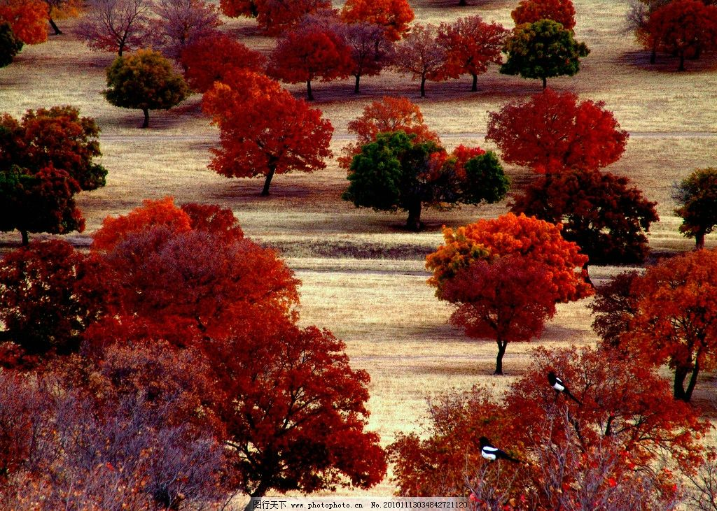 科尔沁五角枫 金秋 十月 草原 枫叶 红枫 秋天 斑斓 游客 游玩