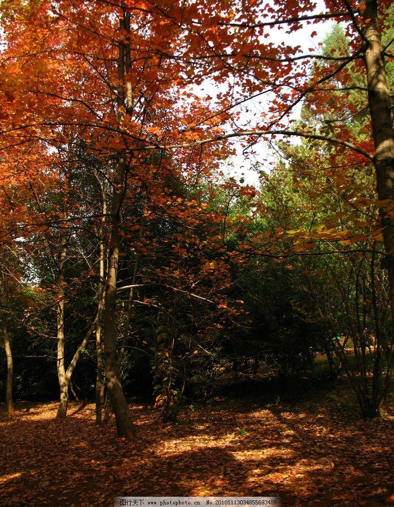 枫叶树 枫树 秋天 红叶 阳光 泥土 自然风景 自然景观 摄影