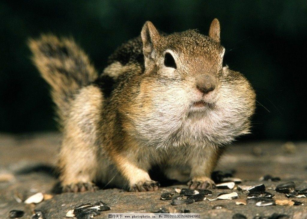 松鼠 瓜子 可爱 小动物 高清 桌面 野生动物 生物世界 摄影 72dpi jpg