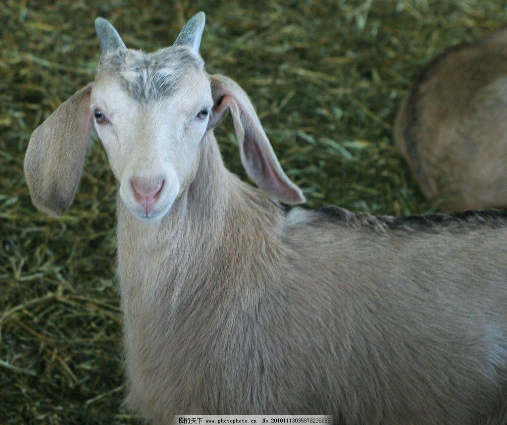 大耳朵山羊 大耳朵 山羊 觅食 紧张 动物园 家禽家畜 生物世界 摄影